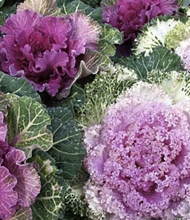 September Home Projects - Ornamental Kale