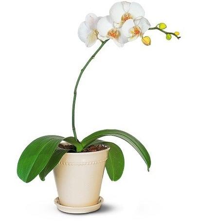 Hardy Houseplants - Orchids
