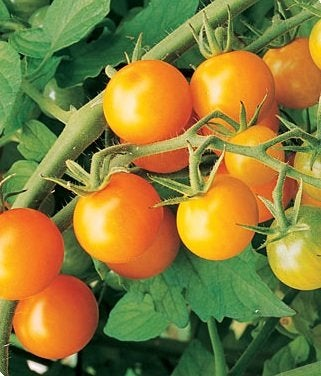 Growing Tomatoes - Sun Gold Hybrid