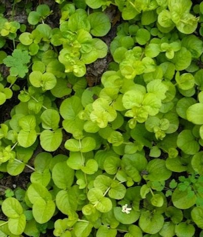 Ground Covers - Creeping Jenny