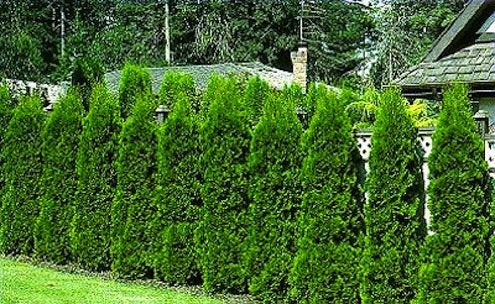 Growing Hedgerows - Privacy