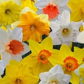 tulipworld.com-daffodil-varieties