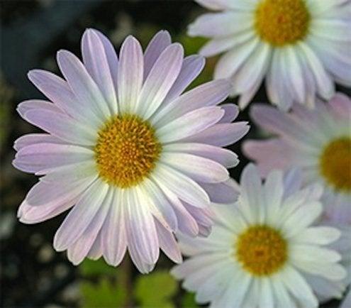Fall Plants - Mums