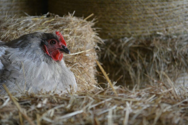 straw bales for chickens and chicken coop