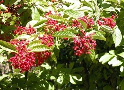Fall Bushes - Viburnums