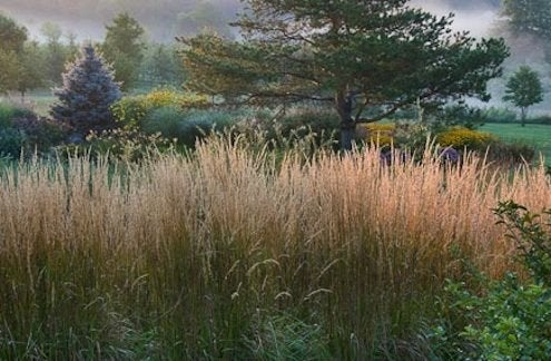Ornamental Grasses - Feather Reed