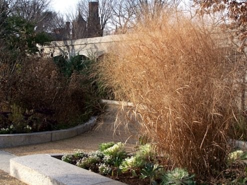 Ornamental Grasses - Switchgrass