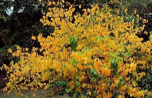 Fall Bushes - Spicebush