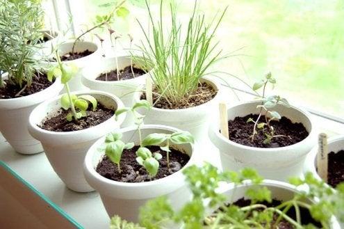 Grow Herbs Indoors - Potted Herb Garden