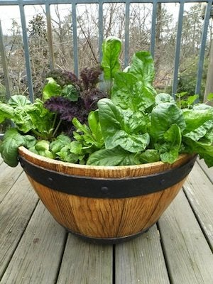 Grow Salad Greens in Containers - Spinach