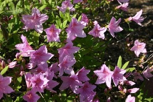 Azaleas Care - Evergreen