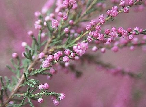 Spring Planting - Heather