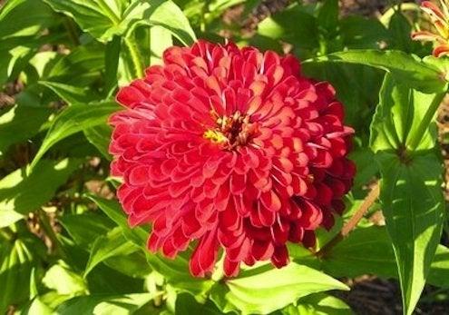 Spring Planting - Zinnias