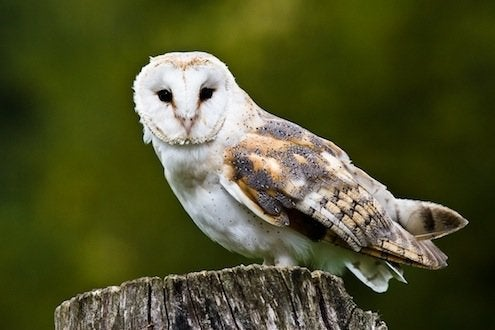 Barn Owls to Control Rodents