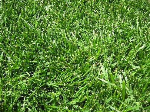 Grass Alternatives - Fescue