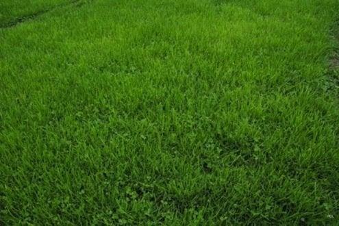 Grass Alternatives - Microclover