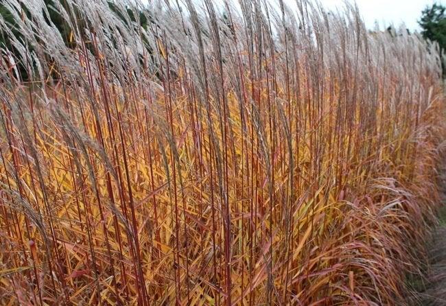 Ornamental Grasses - Flame