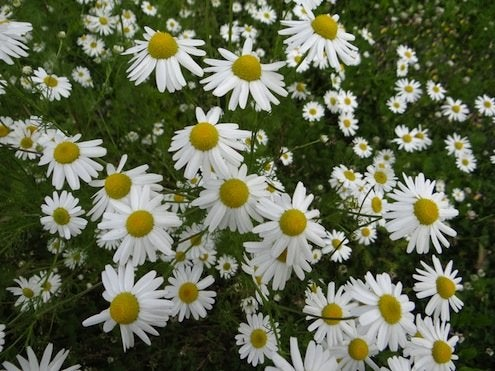 Ground Covers - Chamomile