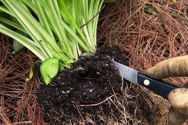 Dividing Perennials in Spring - Root Ball