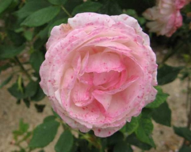 Rose Problems - Botrytis Blight