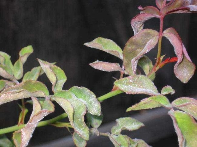 Rose Problems - Powdery Mildew