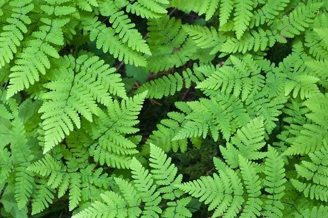 Fern Gardening - Oak Fern