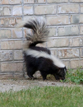 How to Get Rid of Skunk Smell Solutions