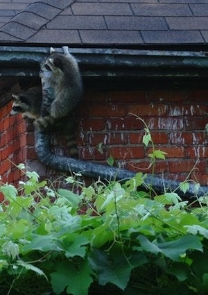How to Get Rid of Raccoons - Indoors