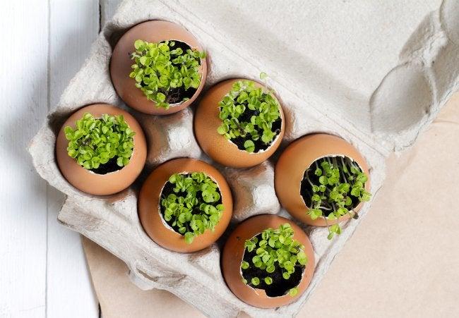 Uses for Eggshells - Seedlings