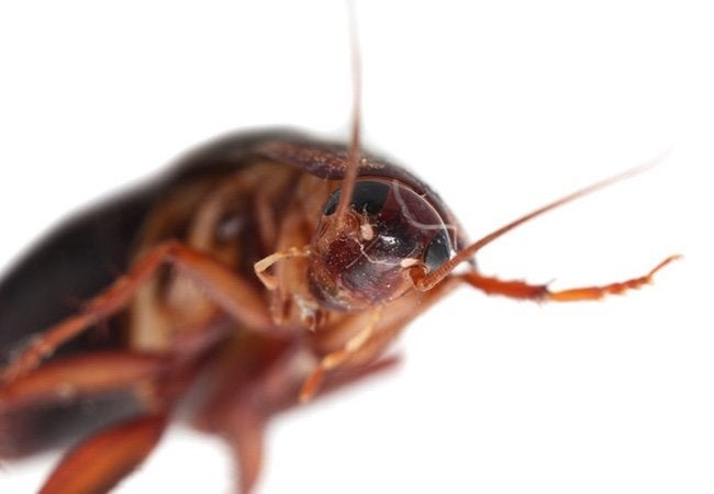 Spring Pest Control - Cockroaches