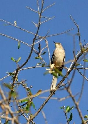 How To Attract Birds - Mockingbird