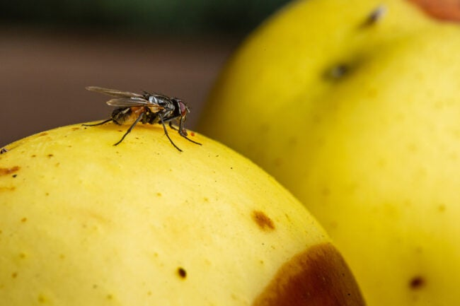 how to get rid of flies in house