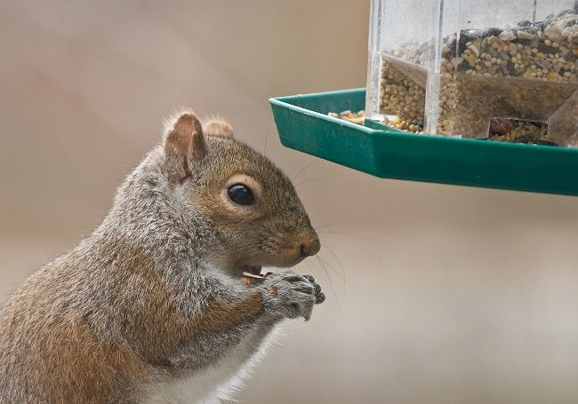 How to Keep Squirrels Out of Bird Feeders