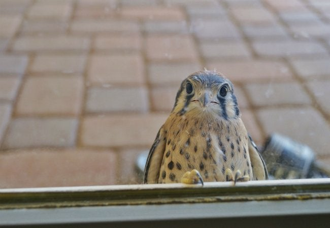 How To Get a Bird Out of Your House - Bird at Window