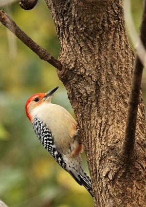 How to Get Rid of Woodpeckers - Read Headed Woodpecker