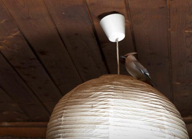 bird inside house perched on light fixture