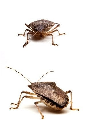 How to Get Rid of Stink Bugs - Isolated in Detail