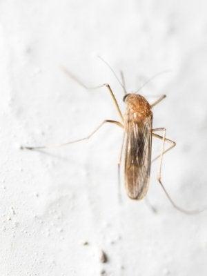 Cómo deshacerse de los mosquitos en la casa: en la pared.