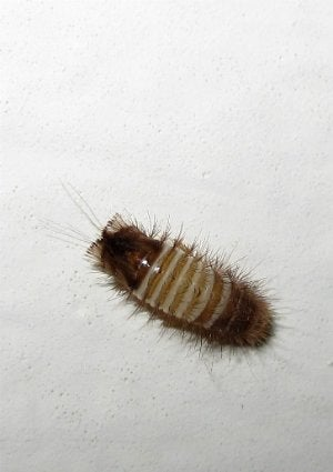 How to Get Rid of Carpet Beetles and Other Disturbing House Pests