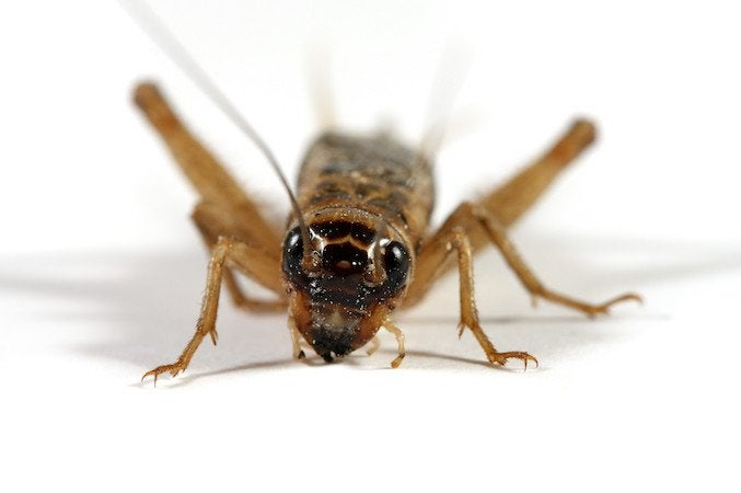How to Get Rid of Crickets