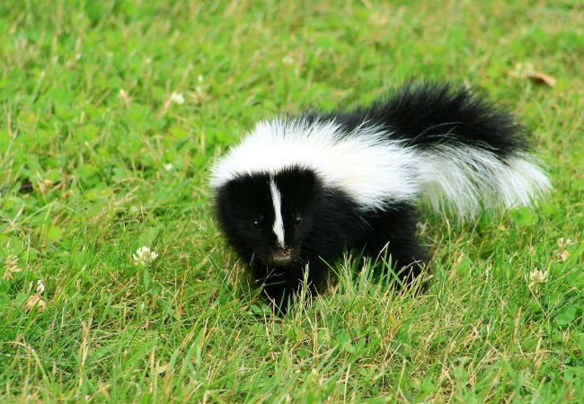 How to Get Rid of Skunk Smell - Skunk