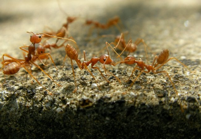 How to Get Rid of Fire Ants - Outdoor Infestation