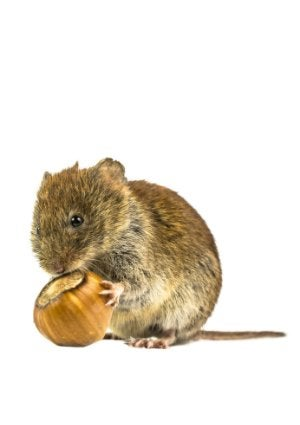 How To Get Rid of Voles - Backyard Rodent
