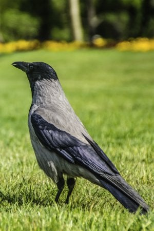 How to Get Rid of Crows in the Yard