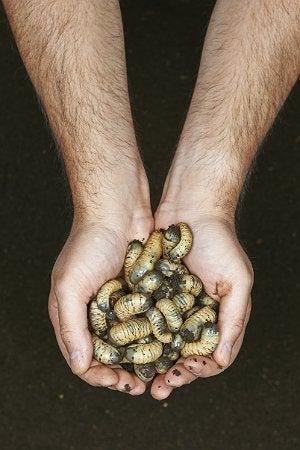 How to Get Rid of Grubs - Grubs Pulled from Dirt