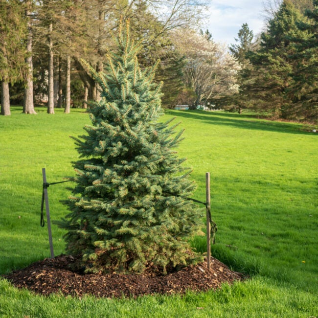 how to stake a pine tree
