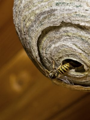 Wasps in House - Wasp Emerging from Nest