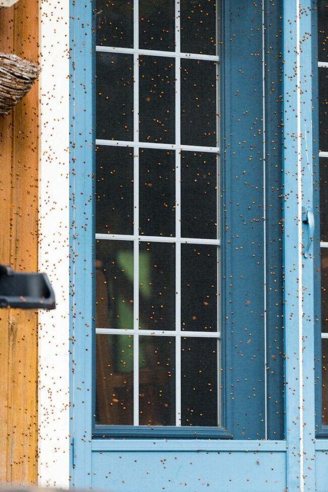 ladybug infestation outside home - how to get rid of ladybugs