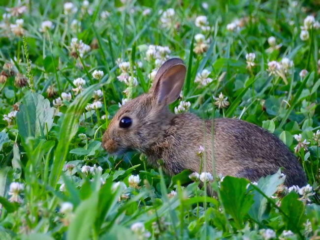 rabbit eating clover in yard