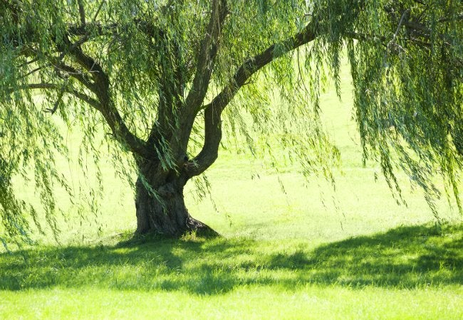 Soil Types - Silty Soil is Good for Weeping Willows